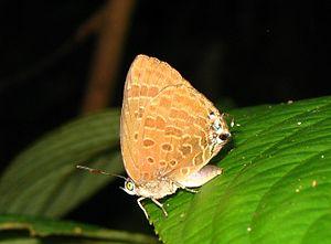 Arhopala - Underwing pattern of unidentified Arhopala species, Selangor on Peninsular Malaysia