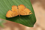 Ariadne merione butterfly.jpg