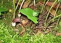 Arisarum proboscideum 02 detail.jpg