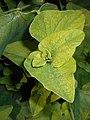 Aristolochia clematitis 2017-09-28 5732.jpg