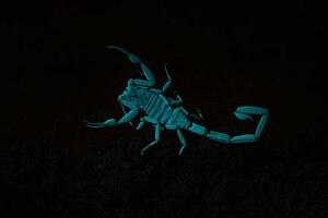 Arizona bark scorpion - Arizona bark scorpion glowing under ultraviolet light