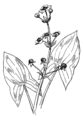Arrowhead plant (PSF).png