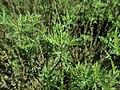 Artemisia abrotanum 2019-04-16 1120.jpg