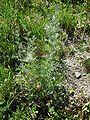 Artemisia absinthium001.jpg