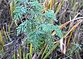 Artemisia afra, loof, Spitskop, a.jpg