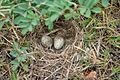 Ashy-crowned Sparrow Lark (Eremopterix grisea) nest W IMG 0857.jpg