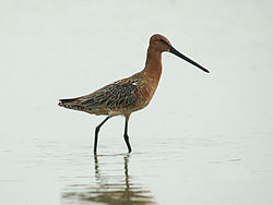 Asian Dowitcher 6436.jpg