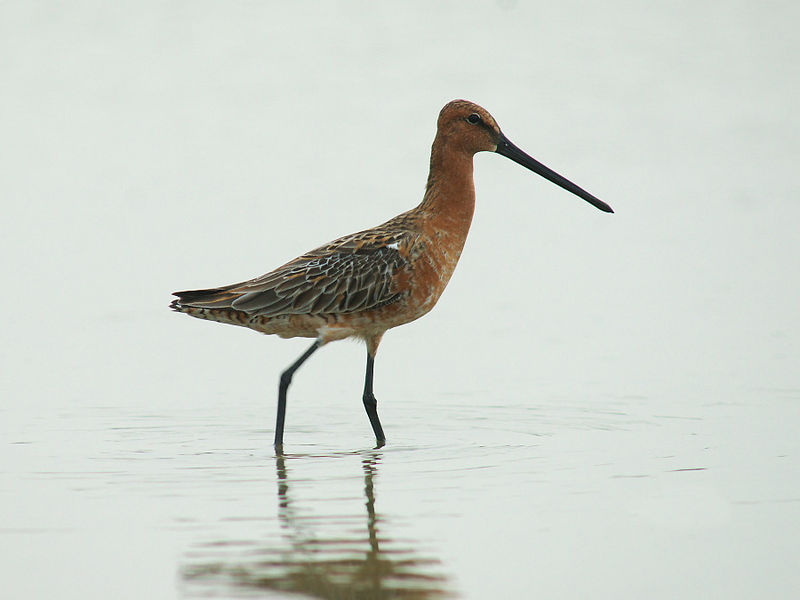 File:Asian Dowitcher 6436.jpg