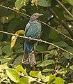 Asian Fairy Bluebird. AMSM2200.jpg