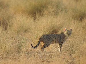 300px-Asiatic_wild_cat_also_called_Deser