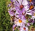 Asters and bees (21857506311).jpg