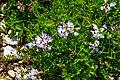 Astragalus alpinus 27.jpg