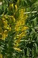 Astragalus macrocarpus flower.jpg