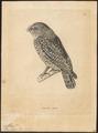 Athene brama - 1700-1880 - Print - Iconographia Zoologica - Special Collections University of Amsterdam - UBA01 IZ18400035.tif