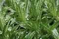 Atrichum undulatum (b, 150155-481728) 2003.jpg