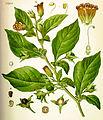 Atropa belladonna (Köhler).jpg