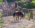 Augustdorf - 2016-05-21 - LIP-002 Exmoor-Ponys (002).jpg