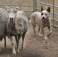 Best Small Herding Dogs For Goats