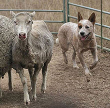 Australian Cattle Dogs were bred to drive cattle, but are also used to