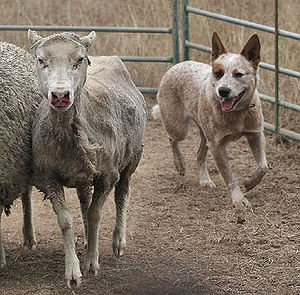 An Australian Cattle Dog herding merino sheep ...