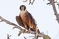 Australian Hobby (Falco longipennis) (8079582088).jpg