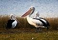 Australian Pelicans.jpg