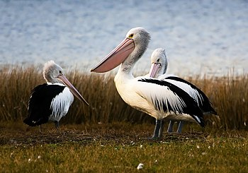 English: Three Australian Pelicans in Tasmania...
