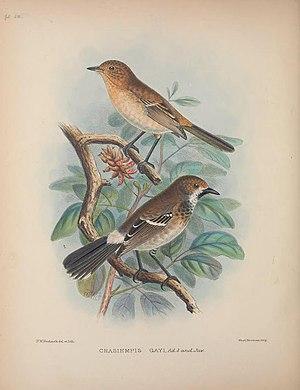 O'ahu ʻelepaio - Image: Aves Hawaiienses (Pl. 50) (8465182608)