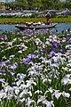 Ayame and ship of Suigo Sawara Ayame Park,Katori city,Japan.jpg