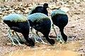 BIRD GREY WINGED TRUMPETER SURINAM AMAZONE SOUTH-AMERICA (32976583196).jpg