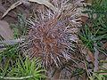 B telmatiaea 06 gnangarra.jpg
