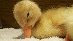 American Pekin - Pekin duckling