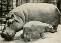Baby Hippo.png