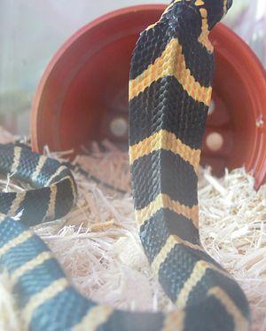 King cobra - A king cobra showing its chevron pattern on the neck