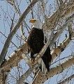Bald Eagle (8577501091).jpg