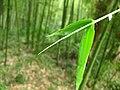Bamboo 竹子 (5811433809).jpg