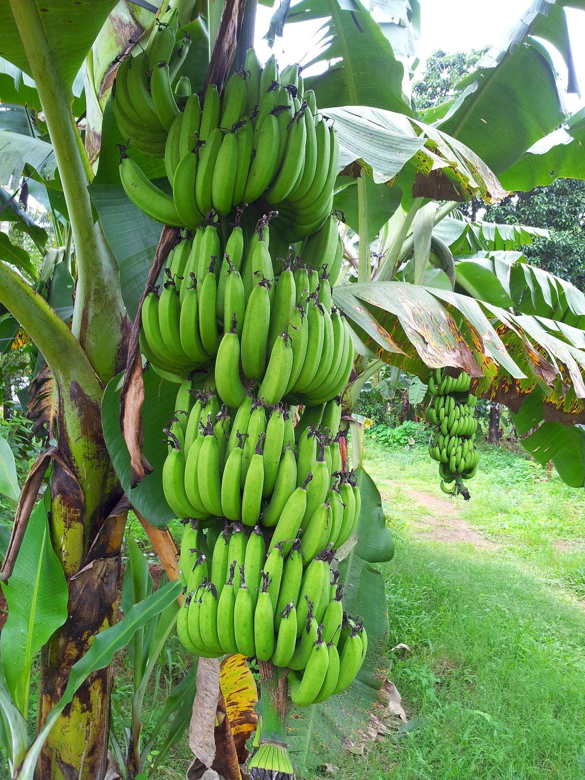 Cultivos tropicales en la argentina wikipedia la for Que son cultivos asociados
