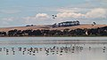 Banded Stilts and Red-necked Avocets (24128682579).jpg