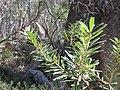 Banksia canei (27492489627).jpg