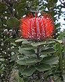 Banksia coccinea - Middleton Beach.jpg