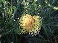 Banksia meisneri.jpg