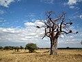 Baobabs in Tanzania 0582 Nevit.jpg