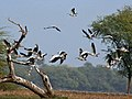 Bar-headed Geese- Bharatpur I IMG 8335.jpg
