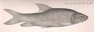 Ripon barbel species of fish