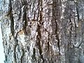 Bark of Dalbergia sissoo.jpg
