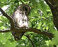 Barred Owl at Willmore Park (47101307604).jpg