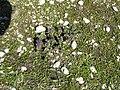 Bartsia alpina01.jpg