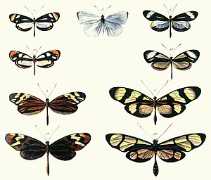 Batesian mimicry - Plate from Bates 1861, illustrating Batesian mimicry between Dismorphia species (top row and third row) and various Ithomiini (Nymphalidae) (second row and bottom row). A non-Batesian species, Pseudopieris nehemia, is in the centre.