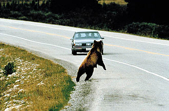 Roadkill - Wide-ranging large carnivores like this bear are particularly vulnerable to becoming roadkill