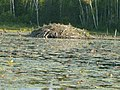 Beaver dam in super national forest.JPG
